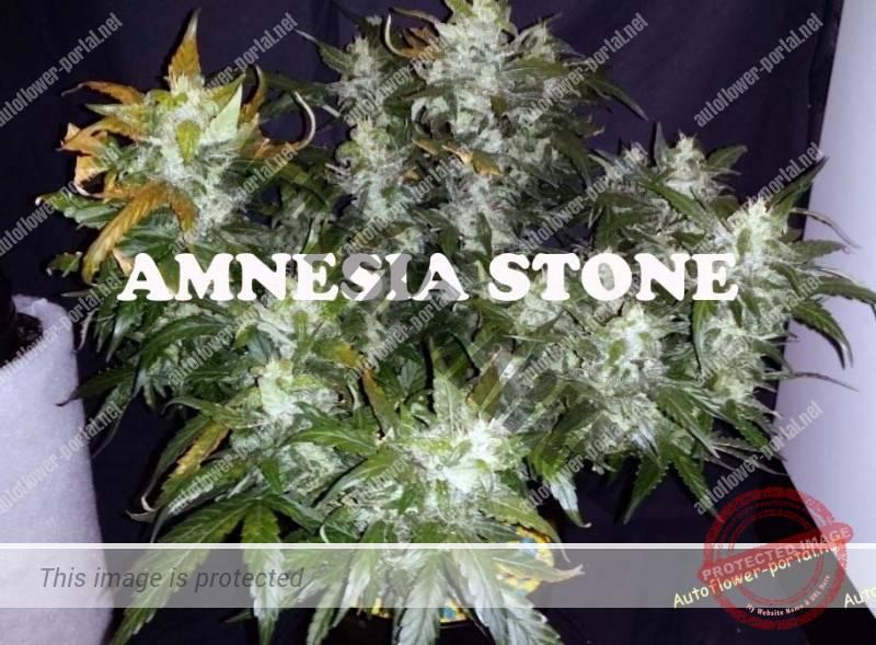 Amnesia Stone: Harvest points Part I