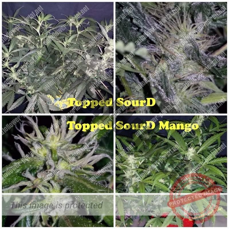 Topped SourD, SourD Mango – Part II