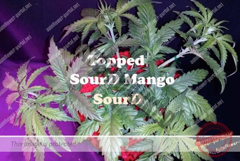 Topped SourD, SourD Mango – Part I