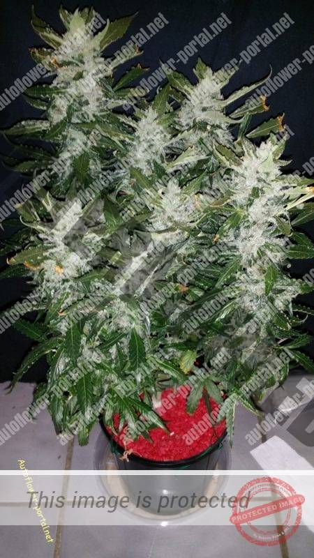Topped SourD Mango – Part III