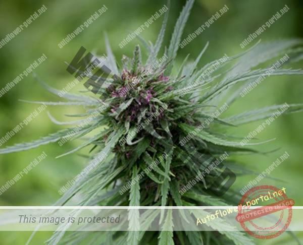 Origin of Autoflowering Cannabis