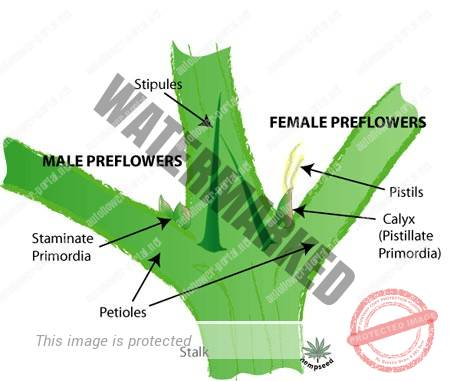 Sex expression in monoecious cannabis plants