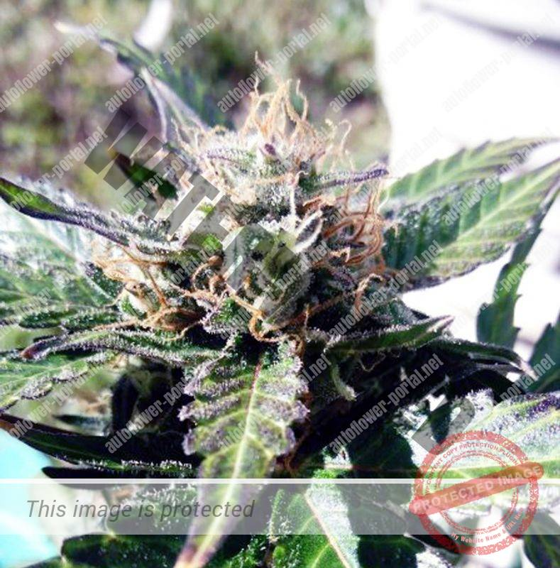 grow diary Archives - Page 2 of 40 - Autoflower Portal