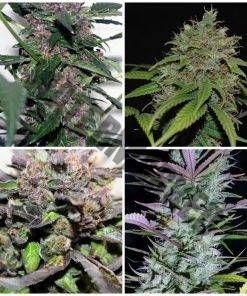 Portal auto medical mix 10 free regular autoflowering seeds