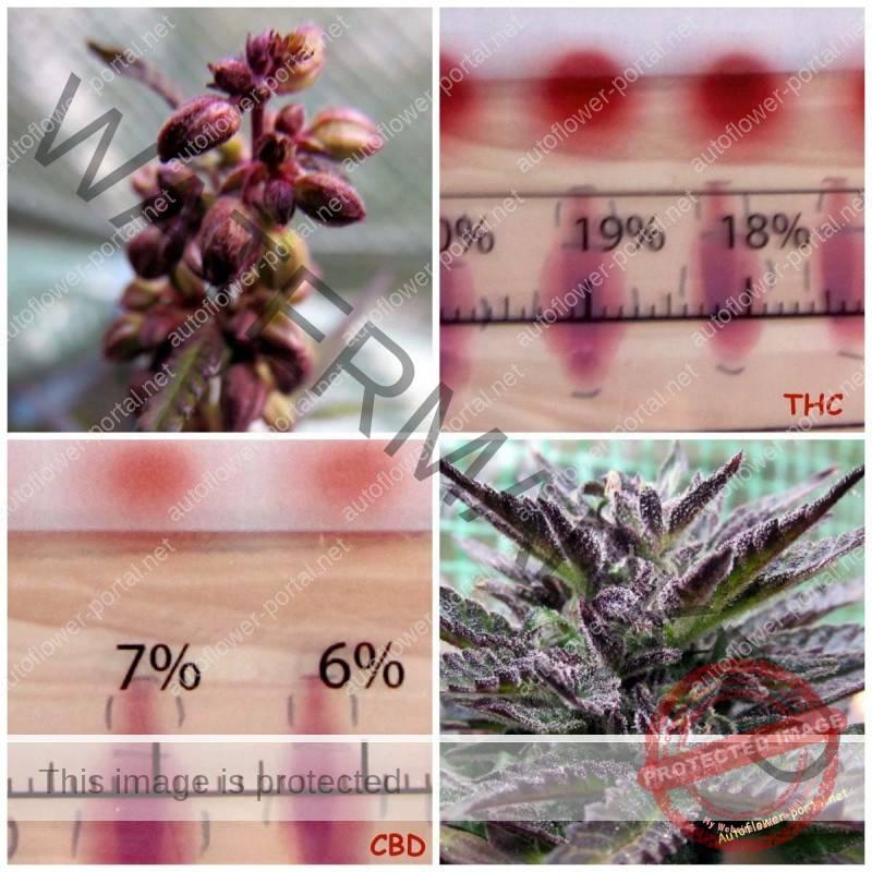 Cannabis breeding and cannabinoid selection method